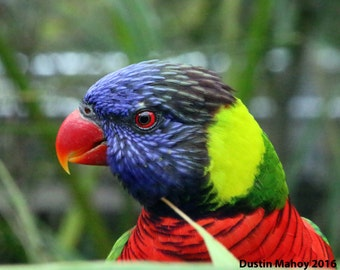 A Green-naped Lorikeet