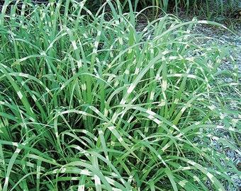 "Super Stripe Maiden Grass - 3.5"" Pot"