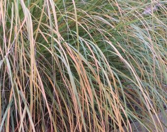 SUMMER SALE! ONLY 5.95! Fountain Grass (Pennisetum Alopecuroides)-perennial-live plant