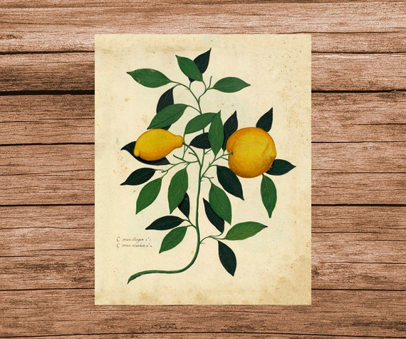 Kitchen Art Vegetables Print Botanicals Kitchen Art: Fruit Lemon Art Print Botanical Poster Vintage Print