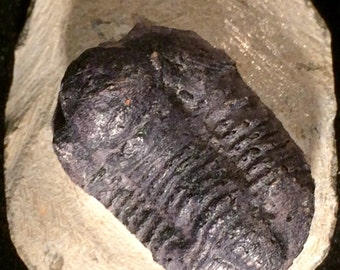 Fossilized Trilobite! - Trilobite Fossil