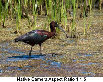 Glossy Ibis #1: Bird art photography prints for home or office wall decor.