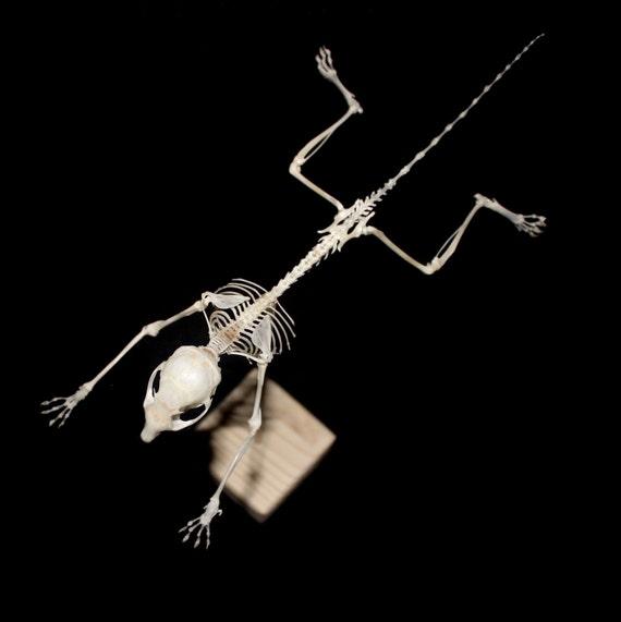 flying squirrel skeleton