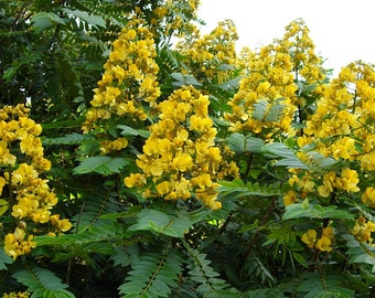 Senna Siamea 20 Seeds, Cassia Kassod, Medicinal Thailand Shower Evergreen Tree