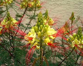 Caesalpinia Gilliesii Dwarf Shrub Tree, Yellow Bird of Paradise 10/100/500 Seeds