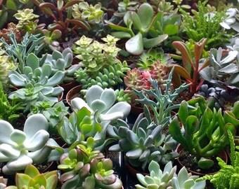 """Set of 10 succulent plants in 2.5"""" pots."""
