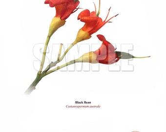 215 Black Bean (Castanospermum australe)