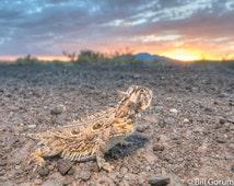 Texas Horned Lizard #2