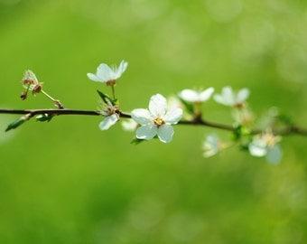 Cherry Blossom Photography, Floral Home Decor, Romantic Art, Shabby Chic Decor, Nature Photography, Macro Protography,