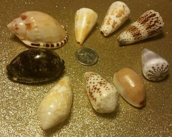 Jumbo Hawaiian shell lot