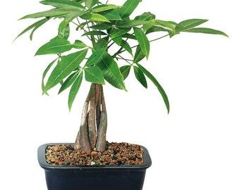 Money Tree Bonsai (Indoor)
