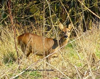 Wild deer, original photography, nature, wildlife, British wildlife, British, countryside