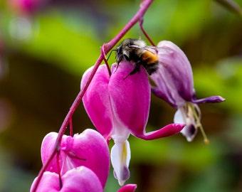 Bumble Bee and Bleeding Hearts, Macro Photography, Nature Photography, Alaska Wildlife