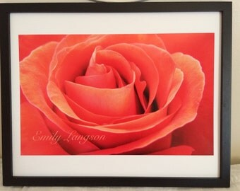 Flower photography - Red rose - rose - photography
