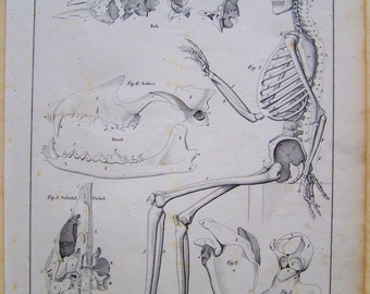 Skeleton Drawing - Skeleton Poster - Human anatomy - Skeleton Lithograph - Human Anatomy drawing - Medical gift - Doctor gift
