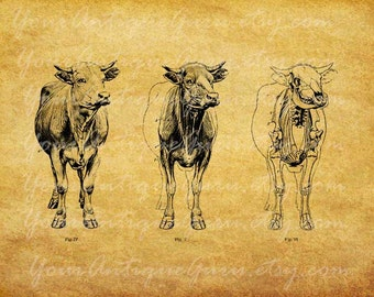 Cow Anatomy Skeleton Image Graphic Download Printable Digital Vintage Animal Clip Art