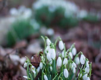 Sunny Snowdrops