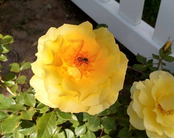 Bee buzzing in a yellow rose