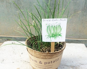 heirloom chinese garlic chives- plant