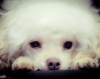 Souful Eyes, Original Photographic Image, Instant Digital Download, Wall Art, Decor, Pet, Animal Photography, black & white, dog, poodle