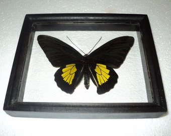 Troides criton in frame made of expensive wood