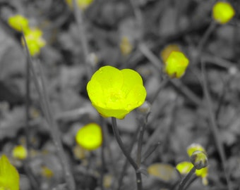 Yellow buttercup flower photo- black and white background- nature photography, yellow flower photo