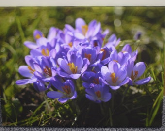 Canvas_004: Crocuses