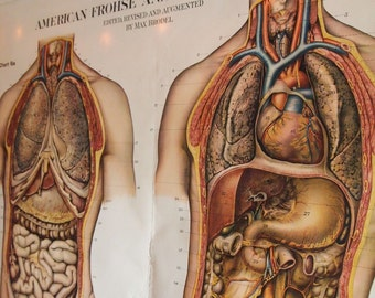 American Frohse Anatomical Chart (Organs)