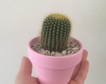 Mini Cactus in Pot