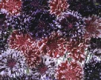 40+ Frosted Queen Mix Bachelors Button Cornflower Centaurea