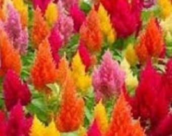 40+ Celosia Flamingo Mix / 7-Colors / Self-Seeding Annual Flower Seeds
