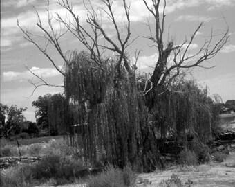 El Arbol // The Tree