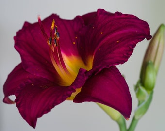 magenta, magenta flower, vivid color, flower photography, lily, lily photography, nature, wall art, wall decor, home decor, canvas