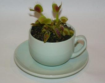 Carnivorous house plant in teacup - Venus flytrap.