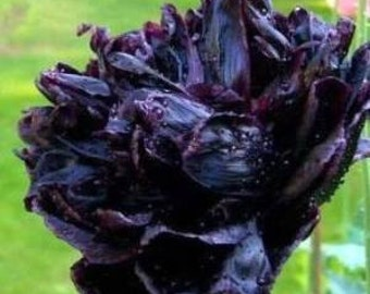 Poppy Black peony Fresh Seeds, Papaver Somniferum