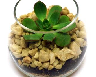 DIY Terrarium Kit, Squat Glass Succulent Terrarium Kit, Miniature Garden, DIY Terrarium Kit, Living Succulent, Green Gift