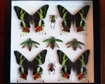 Sunset Moths and Jewel Beetles Display
