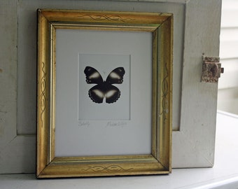 Butterfly - Framed - Sepia Image on White