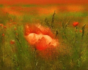 Red poppies, photography, digital art, printing