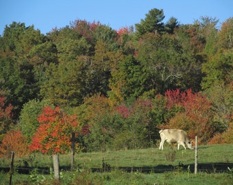 Autumn Cows in New England