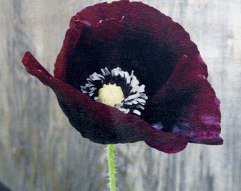 Black Poppy, Wood Print, Birch Wood, Burgandy Poppy, Flower, Flower Print, One of a Kind,