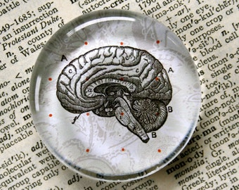 Brain Magnet - Jumbo Glass Magnet - Zombie - Anatomical Brain Magnet - Zombie Lovers - Neurologists - Kitchen Magnet