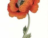 PRINT SALE 20% OFF Vintage 1960's Papaver orientale Botanical, Floral Bookplate Print for Framing, Oriental Poppy flower