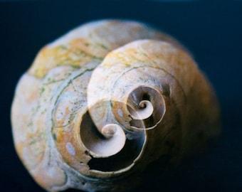 Beach Photography, Home Decor, Spiral Shell Photo, Cream and Navy Blue Fine Art Photography