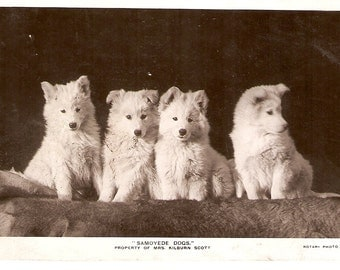 Dogs real photo vintage postcard - Samoyed dogs Real photo Vintage Dog Postcard, RPPC