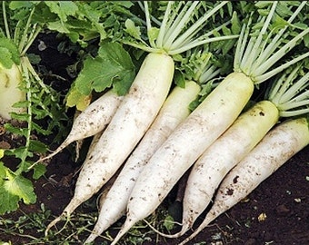 Organic Daikon Radish Japanese Minowase Heirloom Vegetable Seeds