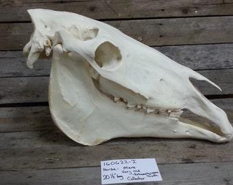 Average Horse Skull- Equus ferus caballus- Adult- Lot No. 160622-I