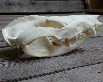 Opossum Skull- Classic Quality-  Lot No. 160807-O