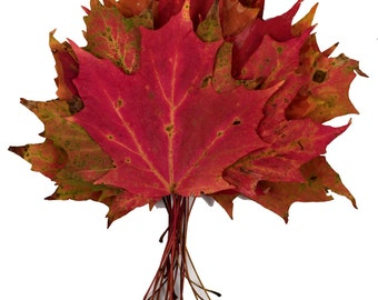 SALE, 12 Large Size 3 to 5 inches wide, Long Stemmed, Red, Orange Sugar Maple Leaves - Great as Place Cards for Fall Weddings, Biodegradable