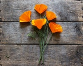 California Poppy // organic heirloom seeds // from our farm // flower seeds // eco friendly organic gardening